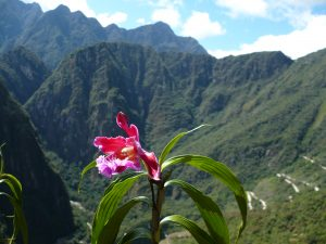 Orchid in Inca Trail (Flora)