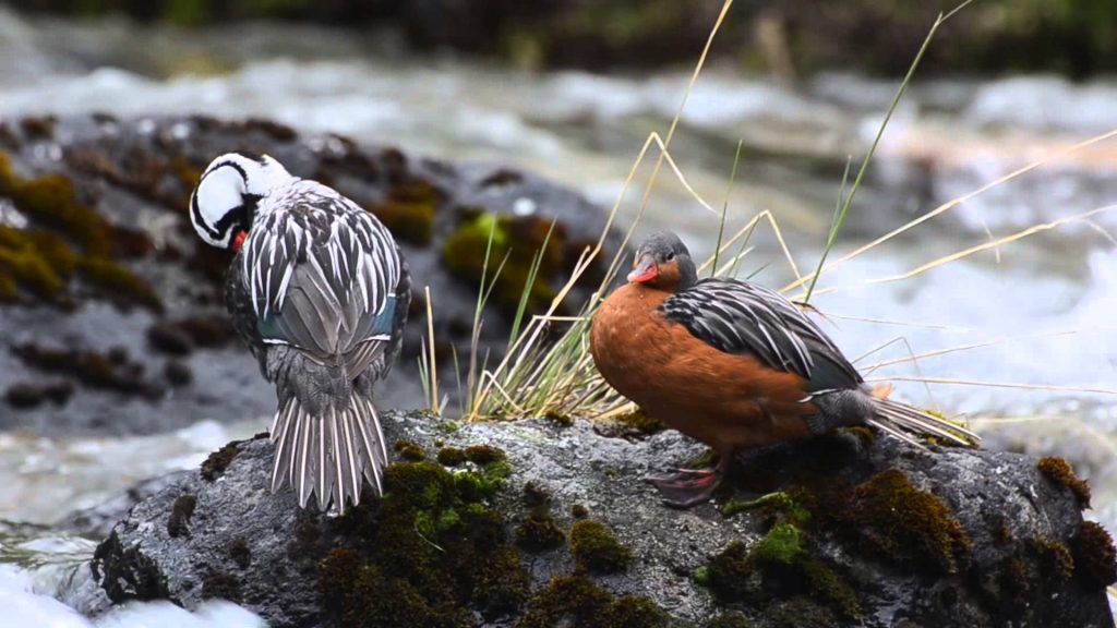 Inca trail birds (Fauna)