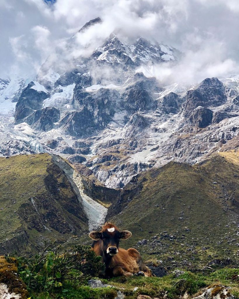 Salkantay mountain and a resting cow