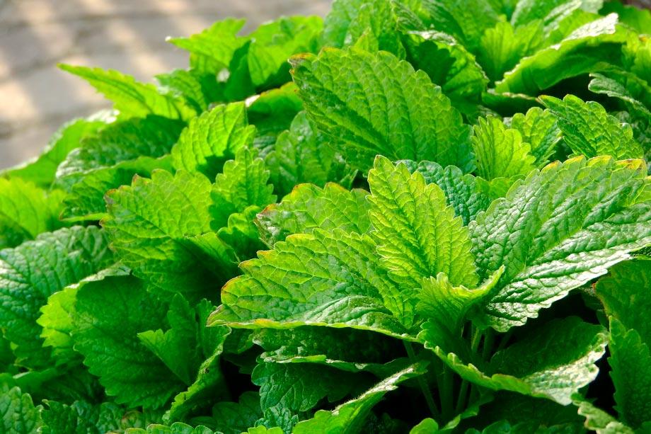 Toronjil or melissa tea by Markéta Machová en Pixabay