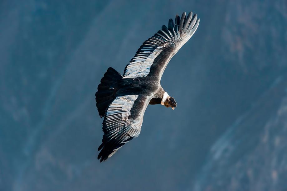 Condor, spiritual importance in peruvian history