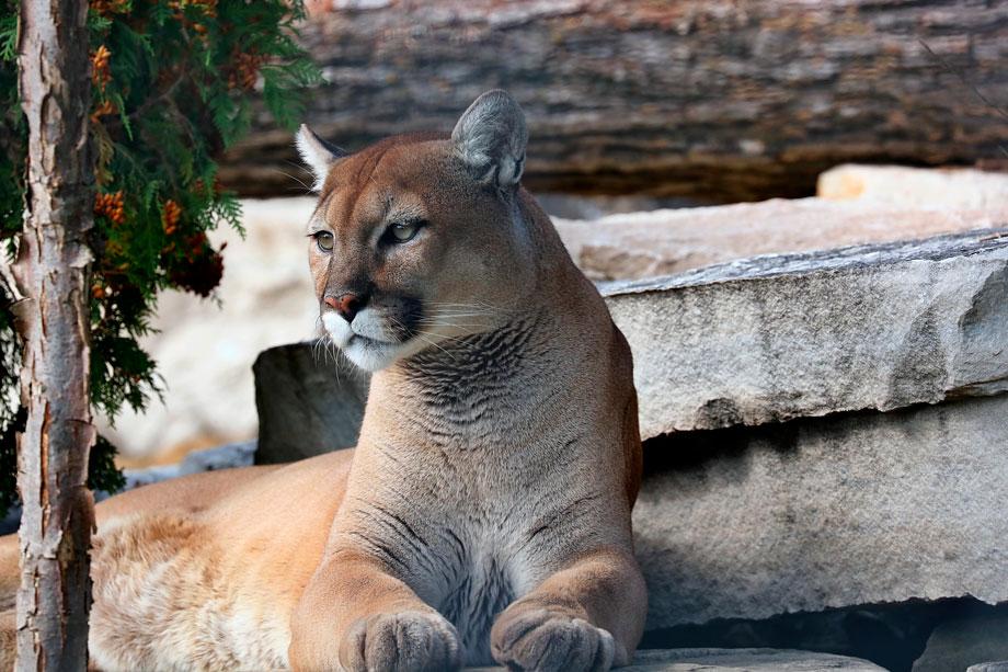 Puma, spiritual importance in peruvian history